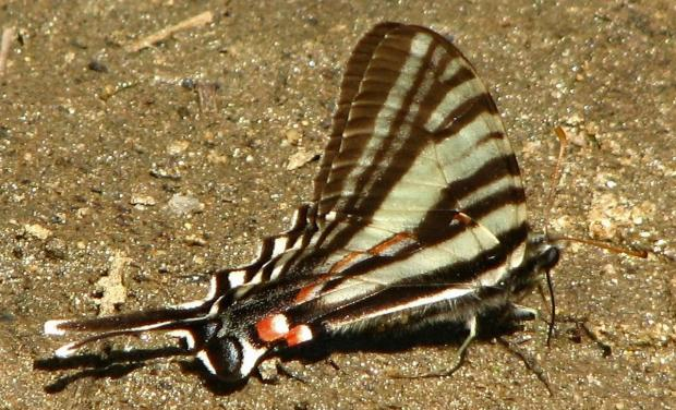 Zebra swallowtail (Terry W. Johnson)