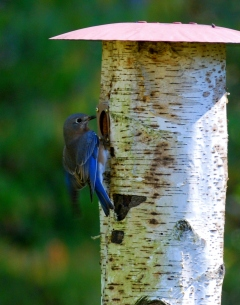 bluebird at nest