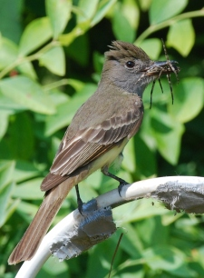 Great crested flycatcher (Terry W. Johnson)