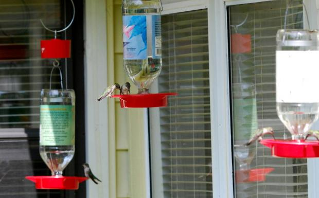 Hummingbird crowd at the feeders