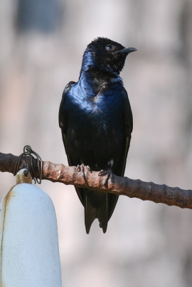 Purple martin. Terry W. Johnson