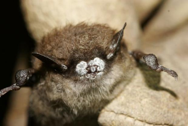 Bat with White Nose