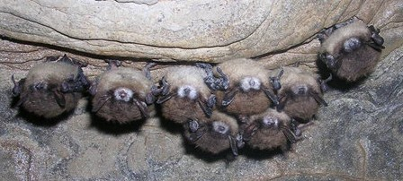 Bats with White-Nose Syndrome